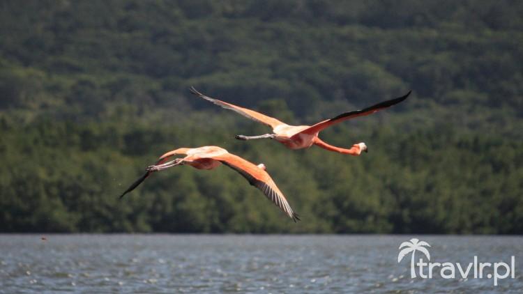 Flamingi w locie