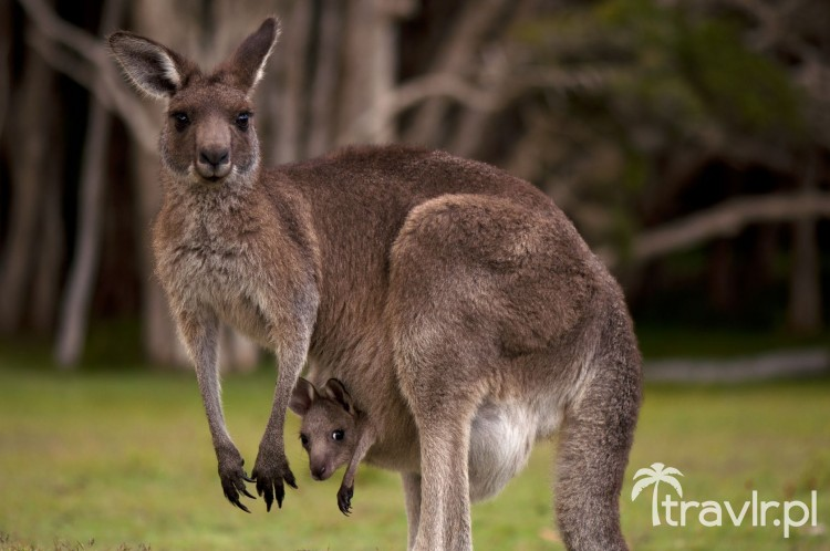 Kangur w Australii