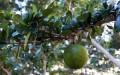 Owoc drzewa Guira
