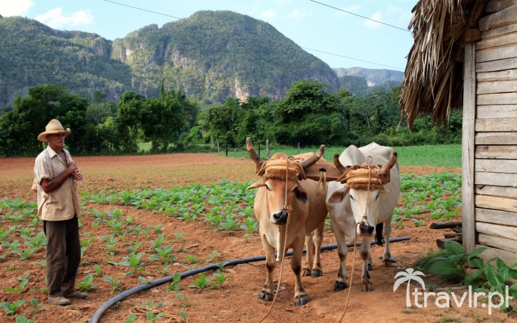 Plantacja tytoniu w Pinar del Rio